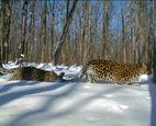 Леопардесса проявила недюжинную волю к жизни